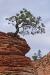 gnarled-pine