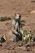 alert-prairie-dog