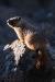 basking-marmot