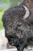 buffalo-face