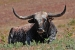 resting-longhorn