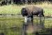 wading-bison