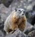 watchful-marmot