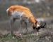 grazing-antelope