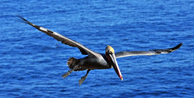 california-brown-pelican
