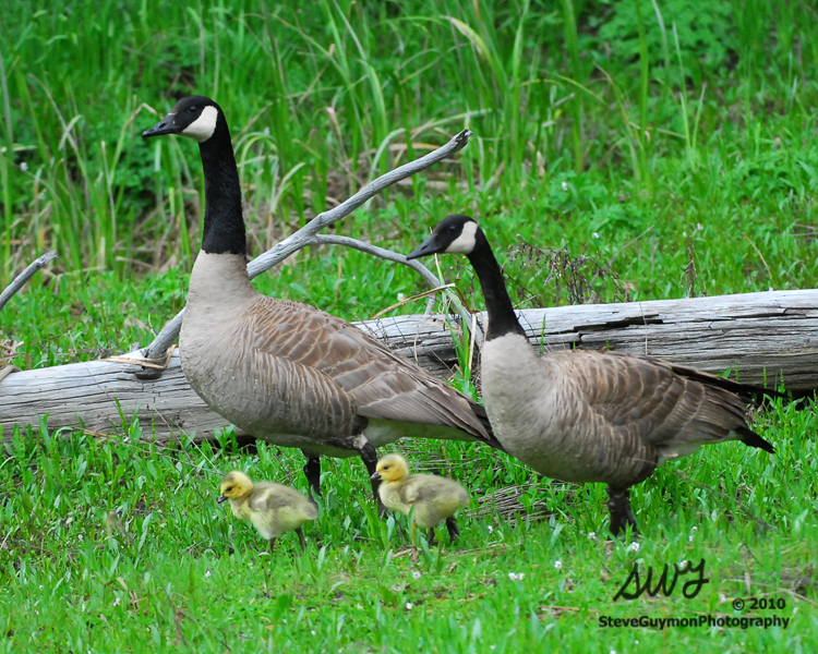 goose-family