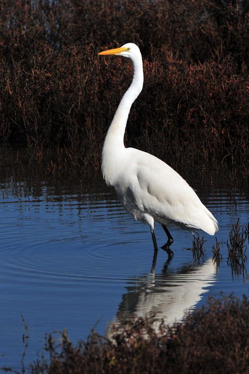greater-egret