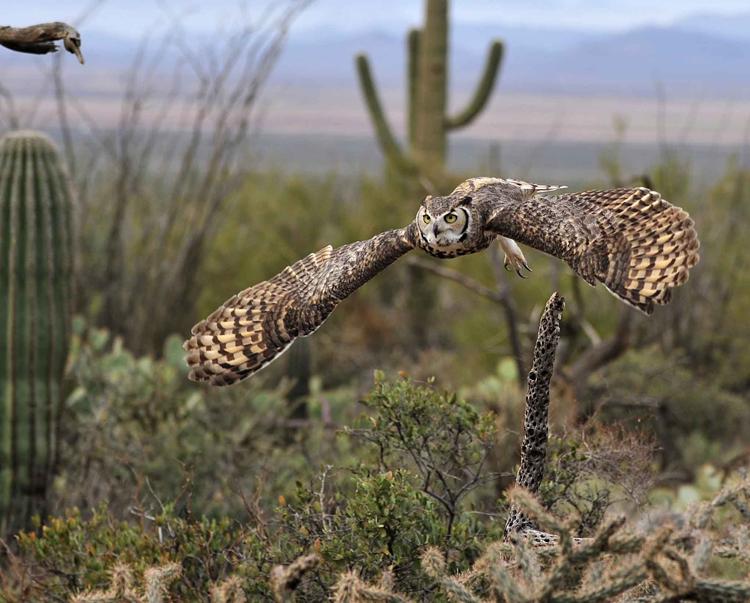horned-owl_0