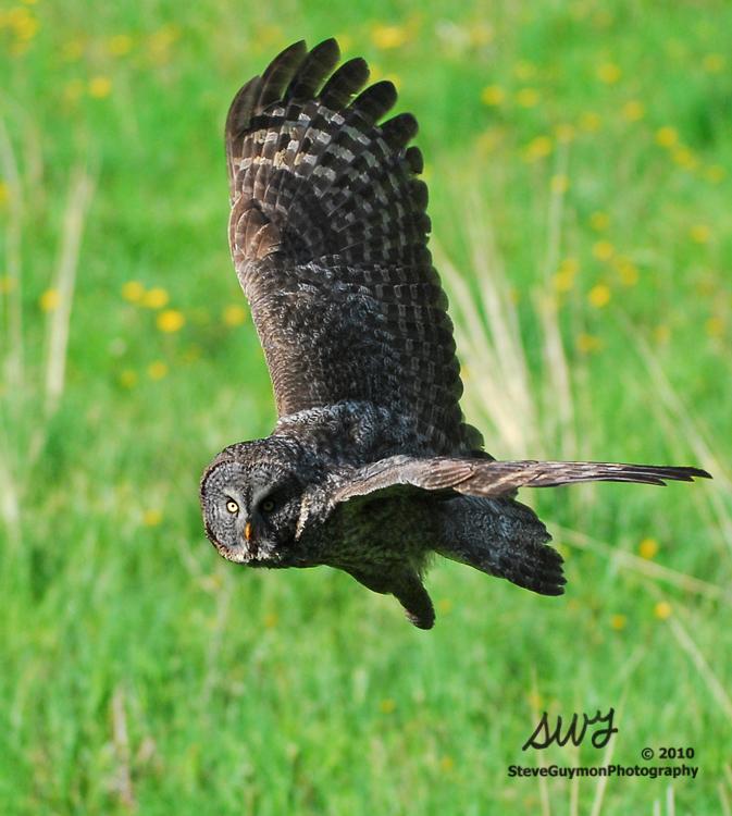 owl-gaze