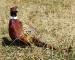 bronze-rooster