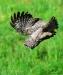 diving-owl