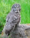 gray-owl-on-rock