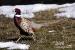 racing-pheasant