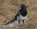 walking-magpie