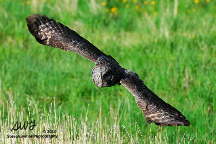 turning-owl