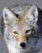 coyote-face_0