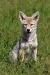 coyote-pup_0