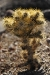 cholla-cactus