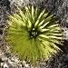 joshua-cactus