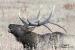 bugling-bull-elk