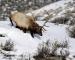 bull-in-snow