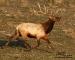 trotting-elk