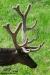 velvet-elk