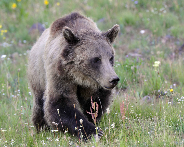 young-grizzly-2-web
