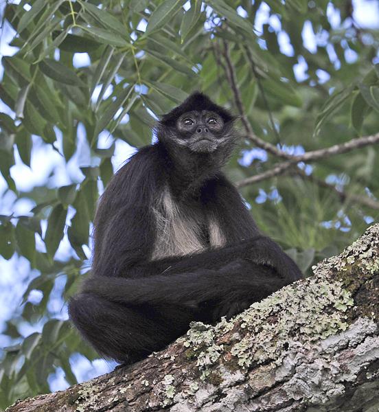 tikal-squirrel-monkey