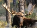 resting-moose