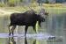 wading-moose