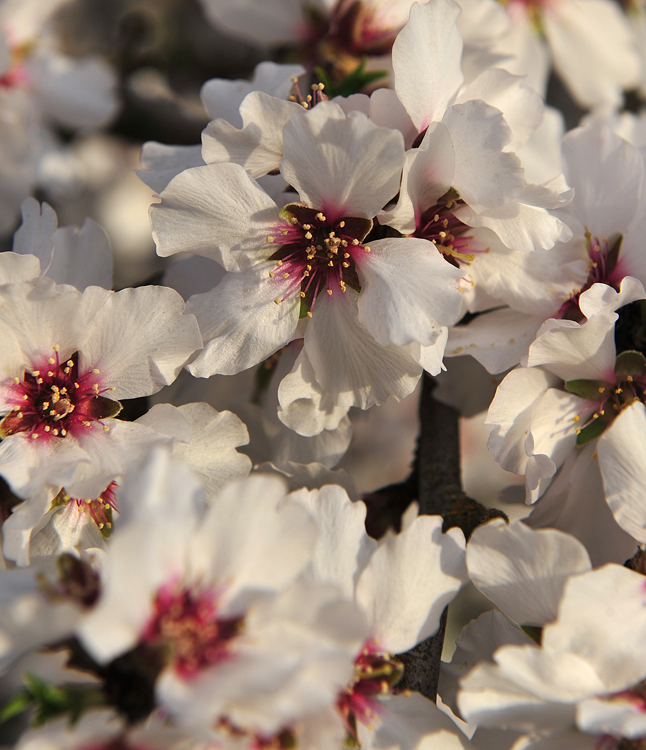 california-almond-blossoms