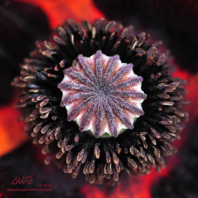 poppy-heart