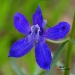 blue-mountain-orchid
