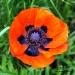 poppy-detail